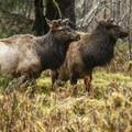 Roosevelt elk (Cervus canadensis) near Hoh Rain Forest Big Sitka Spruce.- Winter in Olympic National Park