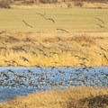 Canada geese (Branta canadensis) in Scaup Pond at Steigerwald National Wildlife Refuge.- National Wildlife Refuge System
