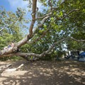 California sycamore (Platanus racemosa) at Sycamore Canyon Campground.- Guide to Camping on the Southern California Coast