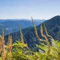 Beargrass gone to seed along the ridge with Kings Mountain in the distance.- Saving Oregon's State Forests