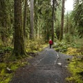 Hall of Moss Trail.- The Stately Serenity of Old-growth Forests