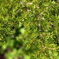 Mountain hemlock (Tsuga mertensiana).- Groves, riots, and Sundry Summer Flora Assemblies