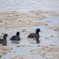 American coots (Fulica americana) at Summer Lake.- Western Birding Hotspots