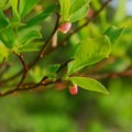 Black huckleberry (Vaccinium membranaceum).- Groves, riots, and Sundry Summer Flora Assemblies