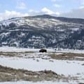 Wildlife viewing is abundant in Lamar Valley, Yellowstone National Park.- The Wild Solitude of Winter in Yellowstone