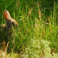 Cottontail rabbit (Sylvilagus spp.).- Be Mindful of the Vanishing Meadow