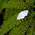 A pale beauty moth on a maidenhair fern.- Saving Oregon's State Forests