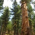 """Big Tree"" ponderosa pine (Pinus ponderosa).- Ralph Waldo Emerson: Nature and the Soul"