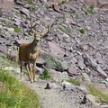Humans aren't the only travelers to use these trails.- Glacier National Park
