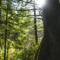 Old-growth Sitka spruce (Picea sitchensis) surrounding Youngs River Falls.- Saving Oregon's State Forests