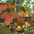 Red maple (Acer rubrum) leaves showing their true color in Great Smoky Mountain National Park.- Great American Towns for Fall Foliage