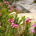 Red heather (Phyllodoce empetriformis).- Mountain Loop Highway Itinerary