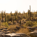Sunset on the saguaros along National Trail in South Mountain Park.- 10 Favorite Autumn Adventures in Arizona