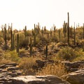 Dense saguaro forest on South Mountain on National Trail.- 15 Must-Do Hikes Near Phoenix, AZ
