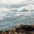 A harbor seal plays in the surf near Seal Rock.- Navigating the Oregon Coast Trail
