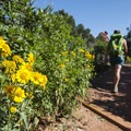 Aster along the Palmer Trail, Garden of the Gods.- Best Hikes in the Colorado Front Range