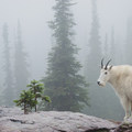 A mountain goat in the mist near Sperry Camp, Glacier National Park.- The Ultimate Western National Parks Road Trip