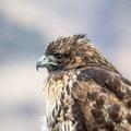 Hawk at Summer Lake.- Western Birding Hotspots