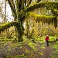Bigleaf maple (Acer macrophyllum) covered in mosses on Sams River Loop Trail.- 20 Incredible Adventures on the Olympic Peninsula