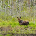 In the early fall you can spot moose feeding in the marshes at New Hampshire Audubon's Alice Bemis Thompson Wildlife Sanctuary.- 15 Stunning Photos to Inspire a Fall Trip to New England