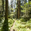 Forest along the Boulder Ridge Trail.- Complete Guide to Baker Lake