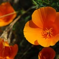 California poppy (Eschscholzia colifornica) at the base of Coyote Wall.- Under-the-radar Wildflower Spotting
