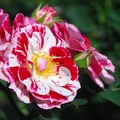 International Rose Test Garden.- Weekend Adventure Guide to Portland, Oregon