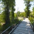 Boardwalk interpretive trail through a stand of narrowleaf cottonwoods (Populus angustifolia).- Jordanelle State Park
