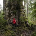 The Quinault Giant Western Red Cedar (Thuja plicata).- Family Friendly Learning On The Olympic Peninsula