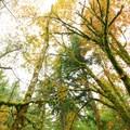 Cape Horn Upper Trail: Bigleaf maple (Acer macrophyllum).- Best Fall Hikes Near Portland