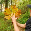 Cape Horn Upper Trail: Bigleaf maple (Acer macrophyllum).- Best Hikes for Fall Colors in Washington
