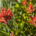 Paintbrush along the Hurricane Hill Trail.- The Ultimate Washington National Parks Road Trip