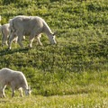 A herd of mountain goats (Oreamnos americanus) on Hurricane Hill.- The Ultimate Washington National Parks Road Trip