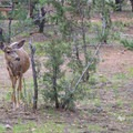 A mule deer browsing in Mather Campground.- Guide to Camping in Grand Canyon National Park