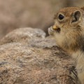 Golden-mantled ground squirrel (Callospermophilus lateralis).- Denver's Best Day Hikes