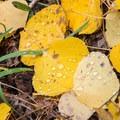Aspen leaves color Arizona's higher elevations in autumn.- 10 Favorite Autumn Adventures in Arizona