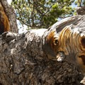 Bristlecone pine (Balfourianae) at Lake Haiyaha.- Denver's Best Day Hikes
