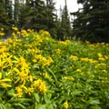 Yellow aster en route to Lake Haiyaha.- Denver's Best Day Hikes