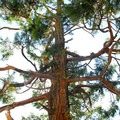 Incense cedar (Calocedrus decurrens).- Examining The Sacramento Watershed: The Conservation