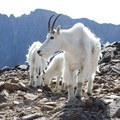 Mountain goats standing in front of Granite Peak.- Climb a Mountain