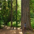 Giant Douglas fir (Pseudotsuga menzies) looming overhead at Clackamas River, Upper Campsites.- A Guide to Camping in Oregon