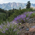 Lupine wildflowers on the Broads Fork Trail.- Wildflower Hikes Near Salt Lake City, Utah