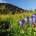 Wildflowers, especially on the alpine tundra, are easily impacted by foot travel. This is an explorer's gentian (Gentiana calycosa) in Spray Park.- It's Your Backyard: Leave No Trace