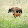 Bison roaming free in Wind Cave National Park.- Underrated U.S. National Parks You Must See