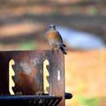 Eastern bluebird (Sialia sialis) along the Moses Springs Trail.- Western Birding Hotspots