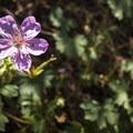 Fremont's geranium (Geranium caespitosum var. fremontii).- Denver's Best Day Hikes