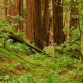 Redwoods (Sequoia sempervirens) in Muir Woods National Monument.- The Stately Serenity of Old-growth Forests