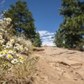 Many-flowered aster (Symphyotrichum ericoides).- Denver's Best Day Hikes