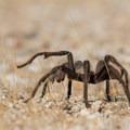 Tarantula heading back to its den.- Anza-Borrego Desert State Park