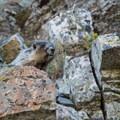 A marmot pays a visit along the trail.- Glacier National Park